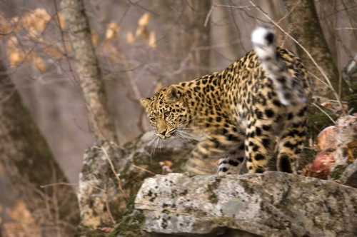 002andrewharrington-amurleopards