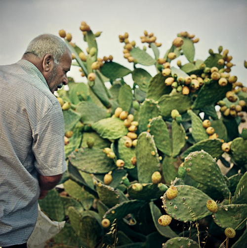 Abu Adnan picking Sabras at his fields at Wadi Fukin.